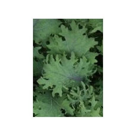 semillas de Kale Fizz