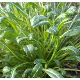 Mibuna - semillas sin tratamiento
