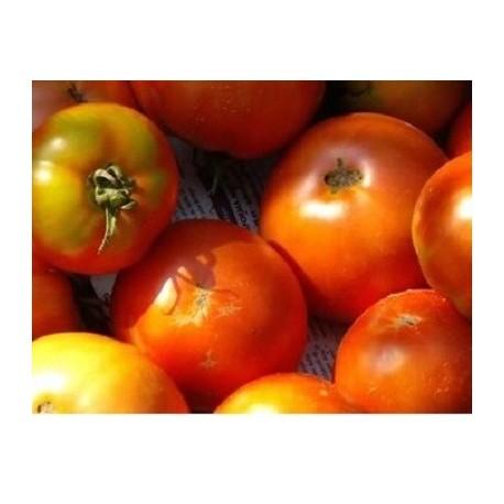 semillas de tomate tirvia