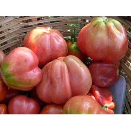 semillas de tomate rosa de Girona