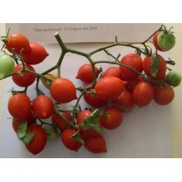 tomate de colgar bombeta (semillas ecológicas)