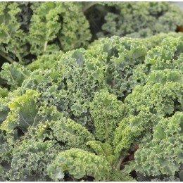 kale westland - semillas ecológicas