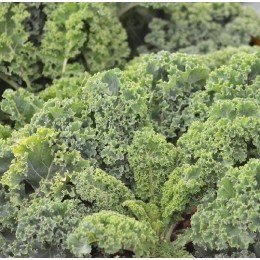 kale westland - semillas no tratadas