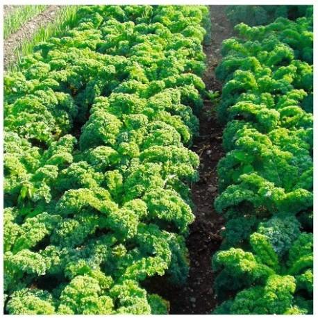 kale halbhoher (semillas ecologicas)