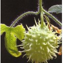 pepino de las Antillas - semillas ecologicas