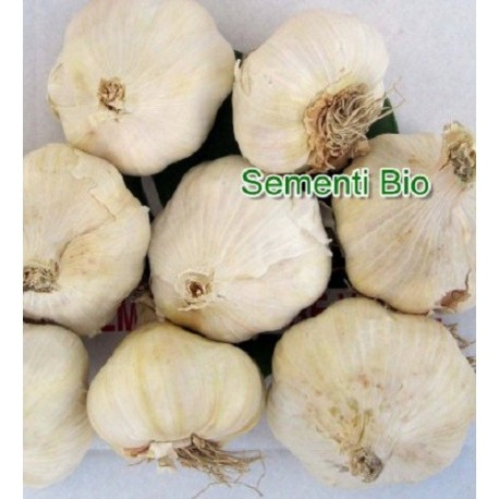 bulbos de ajo blanco de siembra