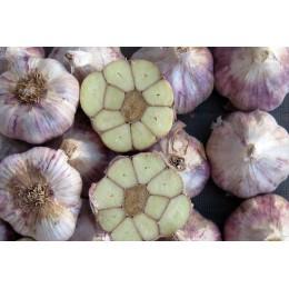 ajo de siembra morado precoz germidour vigor complete ecológico