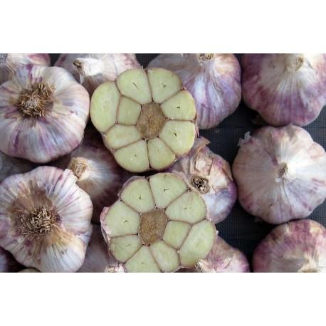 ajo de siembra morado precoz Germidour- ecológico
