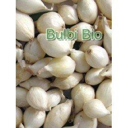 bulbos de cebolla blanca agostana - ecológico