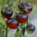 semillas de tomate azul