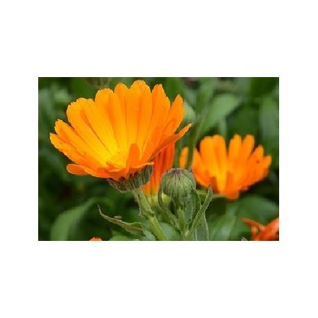 caléndula - semillas ecologicas