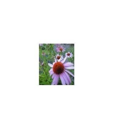Semillas ecológicas de Equinacea (Echinacea angustifolia)