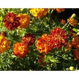 Tagetes erecta - semillas ecológicas