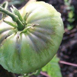 tomate green pineapple - plantel