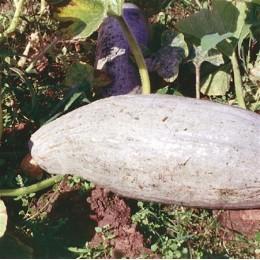 calabaza banana blue semillas ecológicas