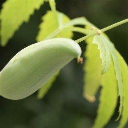 caigua - Cyclanthera edulis (semillas ecológicas)