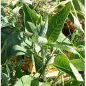 consuelda (Symphitum officinale) semillas no tratadas