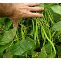 judía del gusano - semillas ecológicas