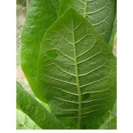 tabaco (Nicotiana tabacum) semillas ecológicas
