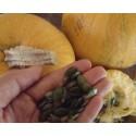 calabaza para pipas semillas ecológicas