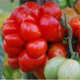tomate voyage - plantel