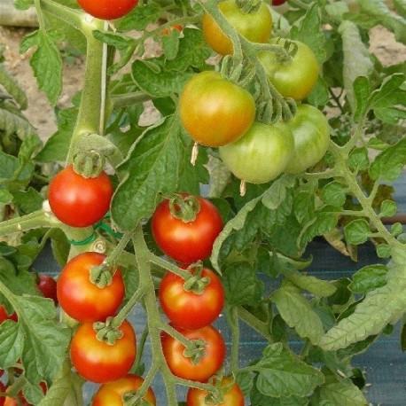 tomate miel de Mexico semillas ecologicas