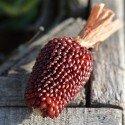 maíz fresa semillas ecológicas