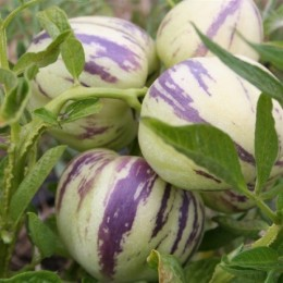 pera melón pepino (Solanum muricatum)