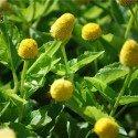 semillas ecológicas de flor eléctrica amarilla (Spilanthes oleracea)