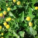 flor eléctrica (Spilanthes oleracea) - semillas no tratadas