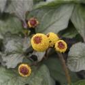 semillas ecológicas de flor eléctrica boton de sechuan