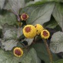 semillas ecológicas de flor eléctrica (Spilanthes oleracea)