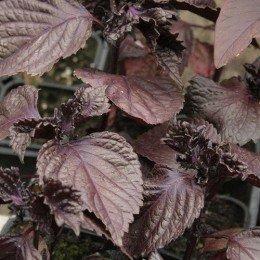 semillas de perilla roja - shiso (Perilla frutescens) - no tratadas