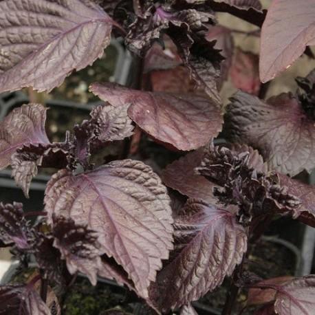 semillas de perilla roja (Perilla frutescens)