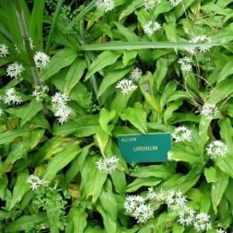 Semillas ecológicas de Ajo de oso (Allium Ursinum)