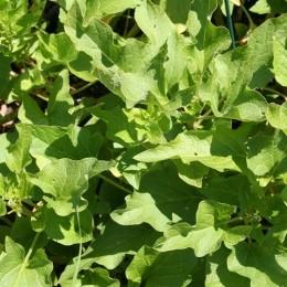 esparrago de los pobres - espinaca de Lincolnshire - semillas no tratadas