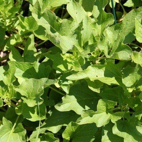 esparrago de los pobres - espinaca de Lincolnshire semillas