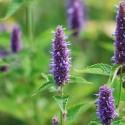semillas ecológicas de Agastache rugosa - menta coreana