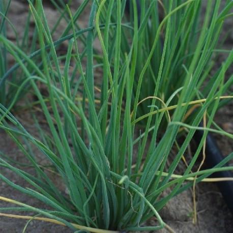 cebollino fino danes, semillas ecológicas