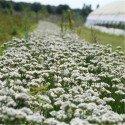 cebollino polyvit, semillas ecológicas