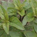 albahaca limón - semillas ecológicas