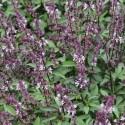 albahaca Indonesia - semillas ecológicas