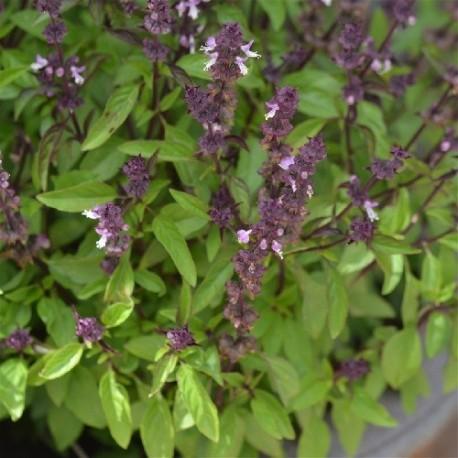 albahaca réglisse- semillas ecológicas