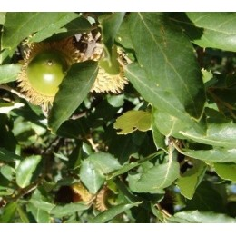 planta de alcornoque en formato forestal (Quercus suber)