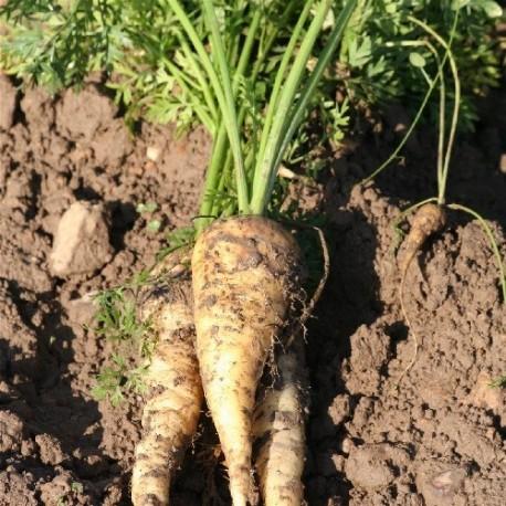 zanahoria blanca de Kuttingen - semillas ecológicas