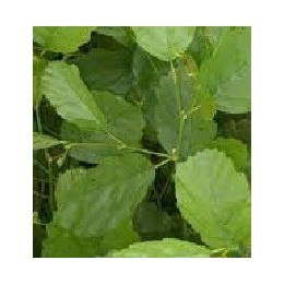 planta de aliso en formato forestal