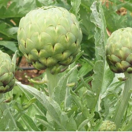 alcachofa estrella imperial - semillas ecológicas
