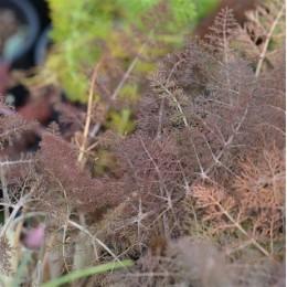 semillas ecológicas de hinojo (foenocolum vulgare)