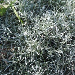 Planta del Curry (Helichrysum thianchanicum) semillas ecológicas