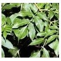 planta de fresno en formato forestal